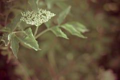 Fleur de baie de sureau Photographie stock libre de droits