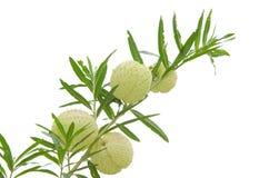 Fleur de ballon (Gomphocarpus Physocarpus) d'isolement sur le backg blanc Photo libre de droits