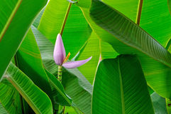 Fleur de banane Photographie stock