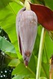 Fleur de banane Photos stock