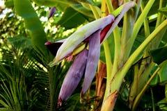 Fleur de banane Photo stock