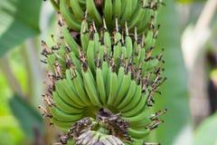 Fleur de banane Photo libre de droits