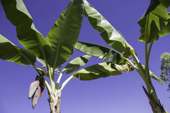 Fleur de banane Image stock