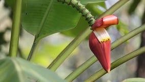 Fleur de banane clips vidéos