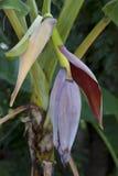 Fleur de banane de plan rapproché Photos stock
