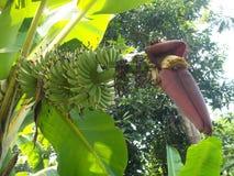 Fleur de banane et jeune banane sur l'arbre Photographie stock libre de droits