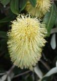 Fleur de Banksia photographie stock libre de droits