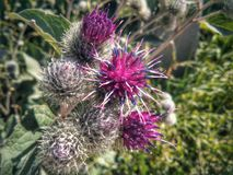 Fleur de bardane Photo libre de droits