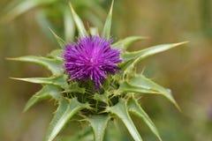 Fleur de bardane Images libres de droits