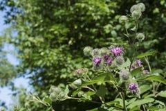 Fleur de bardane Photographie stock