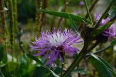 Fleur de bardane dans l'herbe Photo stock
