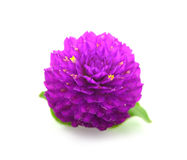 Fleur de beauté d'amaranthe de globe à l'arrière-plan blanc photo stock