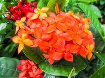 Fleur de beauté d'Ixora image libre de droits
