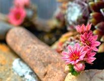 Fleur de beauté de houseleek de toile d'araignee Photographie stock