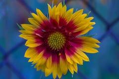 Fleur de beauté Juste plu en fonction Photographie stock