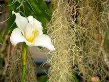 Fleur de Beautyful : Orchidées ou Miltonopsis, photographie stock