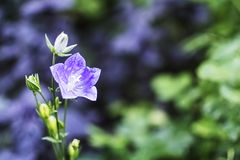 Fleur de Bell avec le foyer mou Photo stock