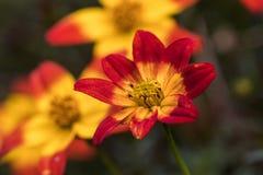 Fleur de Bidens, rouge et jaune en plan rapproché photos stock