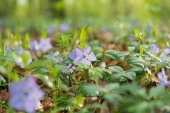 fleur de bigorneau après l'élevage de pluie Photo libre de droits