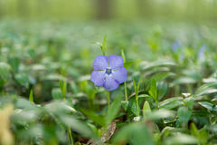 fleur de bigorneau après l'élevage de pluie Photo stock