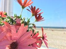 Fleur de bipinnatus de cosmos au bord de la mer image libre de droits