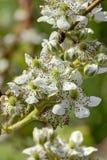Fleur de Blackberry Image libre de droits