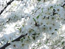 Fleur de blanc de cerise de ressort Photo stock