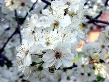 Fleur de blanc de cerise de ressort Photos libres de droits