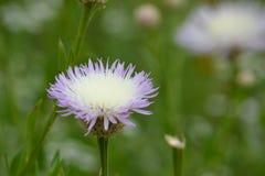 Fleur de blanc et de puple Photographie stock libre de droits
