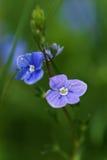 Fleur de bleu d'officinalis de Veronica image stock