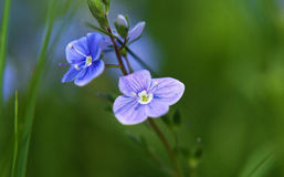 Fleur de bleu d'officinalis de Veronica photographie stock