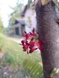 Fleur de Blimbing Photographie stock