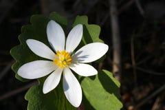 Fleur de Blood-root Images stock
