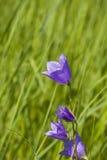 Fleur de Bluebell dans l'herbe verte Photo stock