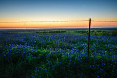 Fleur de Bluebonnets avec le lever de soleil Image stock