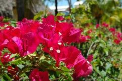fleur de bocaville Image libre de droits