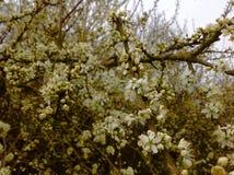 Fleur de Bossom le long de la route Photo libre de droits