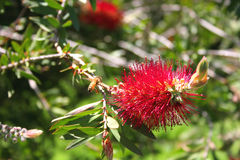 Fleur de Bottlebrush Photo libre de droits