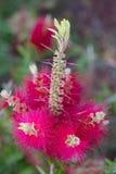 Fleur de Bottlebrush en fleur Photo libre de droits