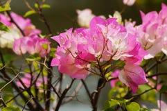 Fleur de bougainvillée Photos stock