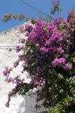 Fleur de bouganvillée à l'île Grèce de Corfou Village de visite Photographie stock