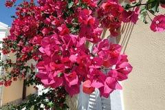 Fleur de bouganvillée à l'île Grèce de Corfou Village de visite Images stock