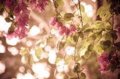 Fleur de bouganvillée photographie stock libre de droits