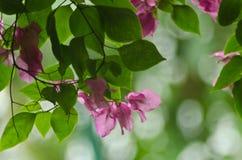 Fleur de bouganvillée photographie stock