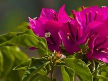 Fleur de bouganvillée Image libre de droits