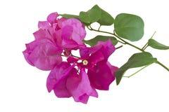 Fleur de Bouganvillea images libres de droits