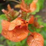 Fleur de Bougenville Photo stock