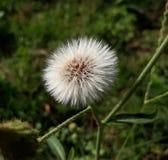 Fleur de boule photographie stock libre de droits