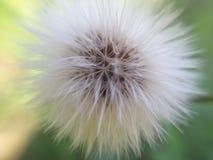 Fleur de boule image libre de droits