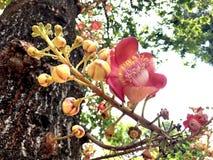 Fleur de boulet de canon en Thaïlande photographie stock